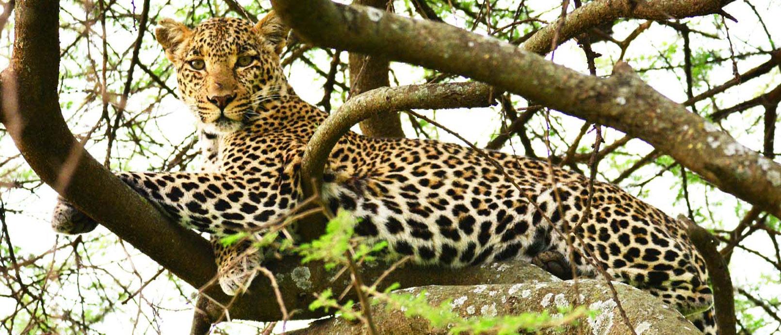 Léopard dans le Serengeti  Serengeti Migration Camp
