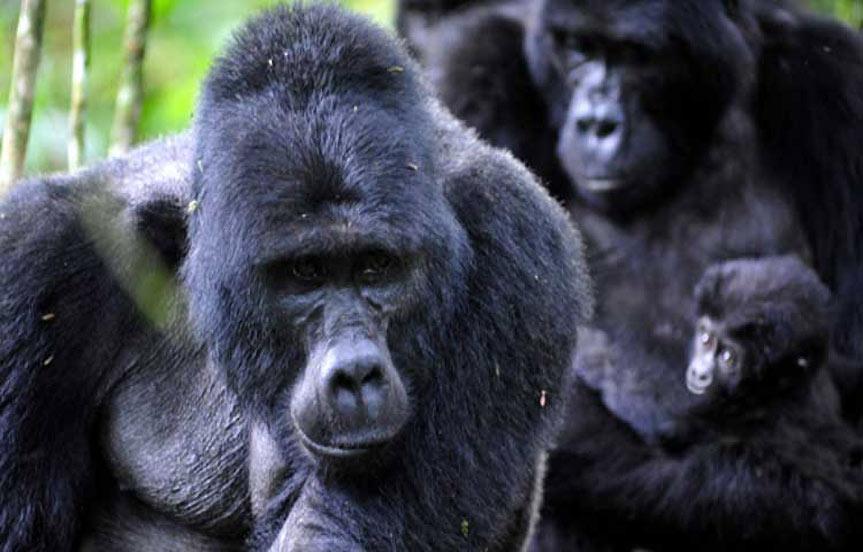 Ouganda, les gorilles se portent mieux