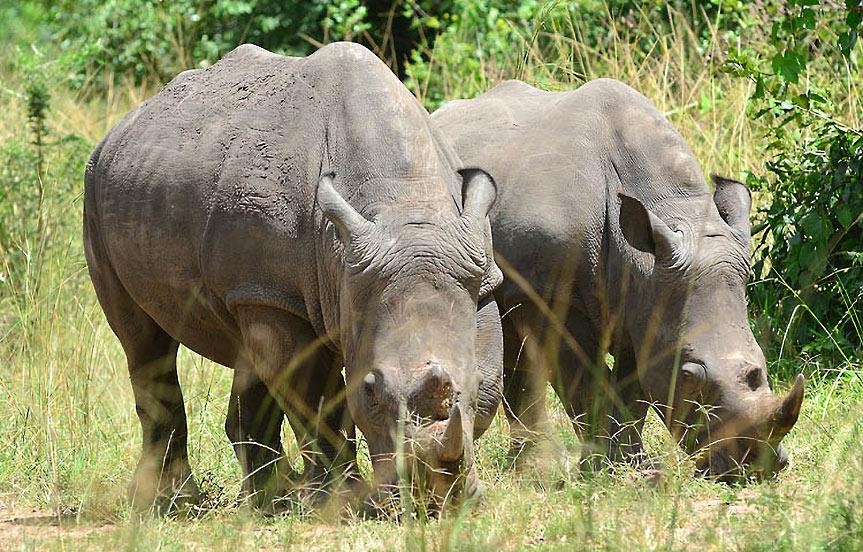 safari en ouganda. Safari à pieds à la rencontre des rhinoceros