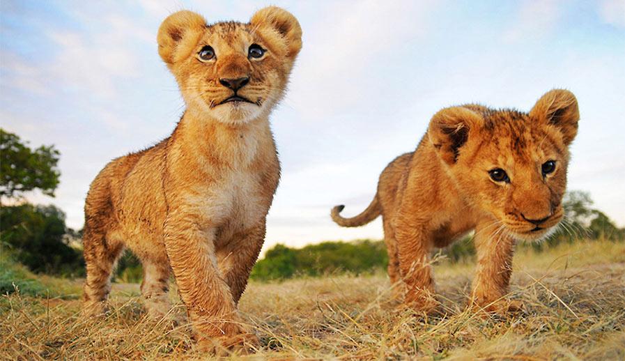guardian_lions_2bd