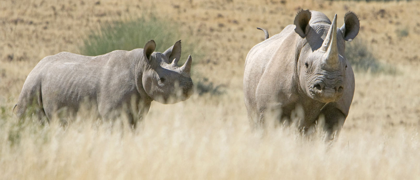 Rhinocéros dans le désert du Namid Rhino Desert Camp