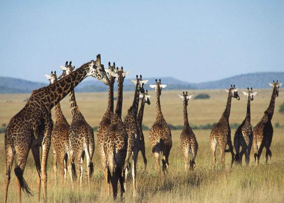 Groupe de girafes dans le Serengeti