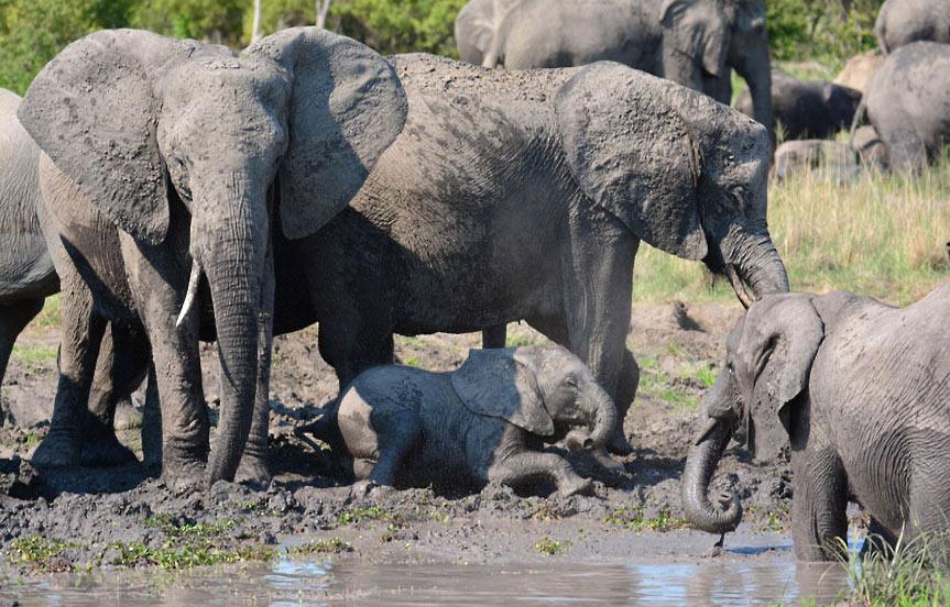 Safari au Botswana, le parc national de Chobe
