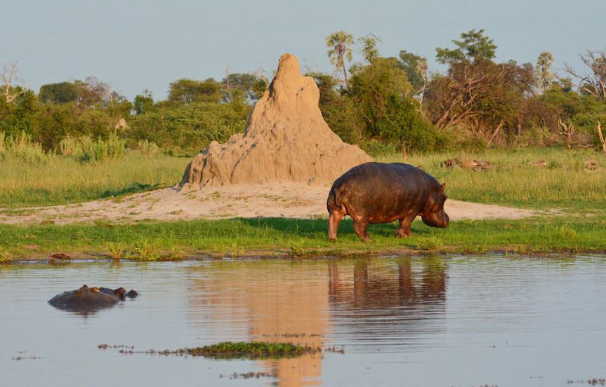 Safari au Botswana, la réserve de Moremi