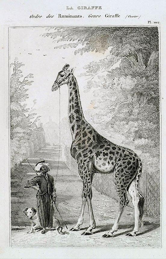 la girafe Zarafa